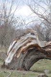 Defektes altes Baum thrunk Stockfoto