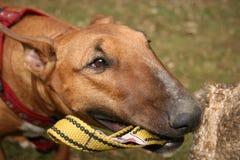 Defence dog. Bullterier bites treining dog sport Royalty Free Stock Photos