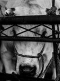 Defendendo os olhos das vacas atrás da cerca Foto de Stock