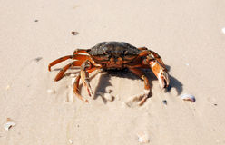 The defender crab Royalty Free Stock Photo