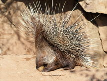 Defending porcupine portrait Royalty Free Stock Photos