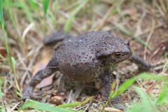 Defense reaction of common toad Bufo bufo Stock Image