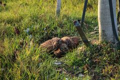 Defensiv vuxen gräva ugglaAthenecunicularia som sätta sig utanför dess håla på Marco Island arkivbilder