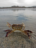 Defensive crab Royalty Free Stock Photography