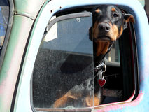 Defensive Driving. Doberman hanging out of the driver's side window in an old truck Stock Images