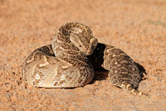 Defensive puff adder Stock Photo