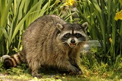 Defensive Raccoon with mouth open Stock Photography