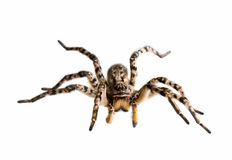 Defensive spider tarantula Stock Images
