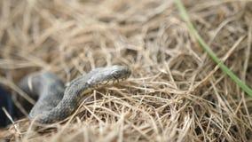 Defensiveness för huggorm för snokNatrixNatrix Head lyftande i Forest Early Spring Forest Snake som flyttar en spole arkivfilmer