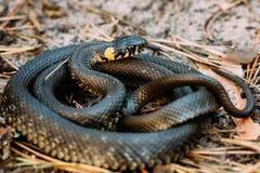 Defensividad de aumento principal de la serpiente del Natrix de la serpiente o del Natrix de hierba en bosque fotos de archivo