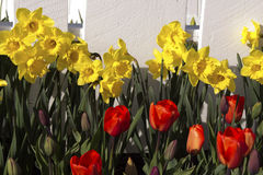 Deffodils, tulips. Yellow daffodils and red tulips in a garden Stock Photos