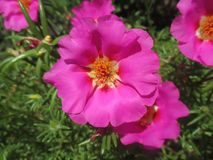 Defiance, Latin name Portulaca Grand Flora. Defiance originates from South America. Defiance is a luxurious flowering plant that is characterized by an amazing royalty free stock images