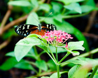 Defiant Butterfly Royalty Free Stock Photo