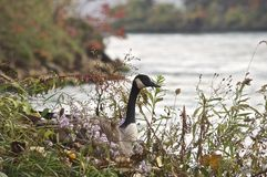 Defiant Goose. On the shoreline of the Niagara River.  This bird was not moving for anyone Royalty Free Stock Photos