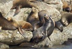 Defiant sea lion. Royalty Free Stock Image
