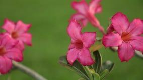 Definizione di Rose Adenium Obesum Pink Panning del deserto alta archivi video
