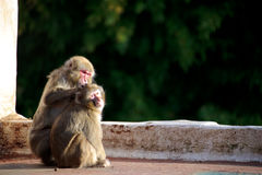 defleaing πίθηκοι Στοκ φωτογραφίες με δικαίωμα ελεύθερης χρήσης