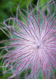Deflorate clematis Stock Photos