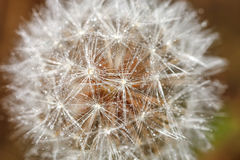 Deflorate dandelion close-up. In a field photo Royalty Free Stock Images