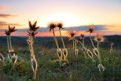 deflorated заход солнца цветков Стоковые Фотографии RF