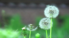 Deflorated dandelions stock footage
