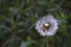 Deflowered dandelion w lato wieczór Zdjęcia Stock