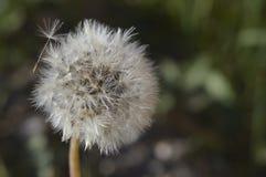 Deflowered dandelion w lato wieczór Fotografia Stock