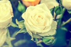 Defocus宏观观点的大白色玫瑰 免版税库存图片