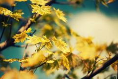Defocus background with leaves on a tree. Defocus background with autumn leaves on maple tree. Tonal correction Stock Photography