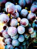 Defocus barolo ripe grapes ready for harvest. Barolo ripe grapes ready for harvest Royalty Free Stock Photo