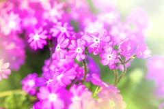 Defocus beautiful purple flowers Stock Image