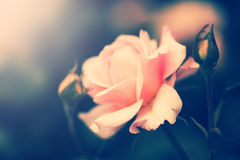 Defocus blur background with rose. Macro shot in retro style Royalty Free Stock Image