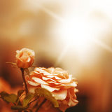 Defocus blur background with rose. Macro shot in retro style and sunlight Royalty Free Stock Photos
