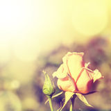 Defocus blur background with rose. Macro shot in retro style and sunlight Stock Images