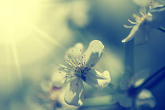 Defocus blur beautiful floral background. Cherry spring flower and copy space Stock Image