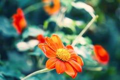 Defocus blur beautiful floral background. Orange spring flower and copy space Stock Image