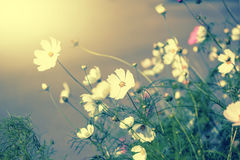 Defocus blur beautiful floral background. White tender spring flowers and copy space Stock Photography