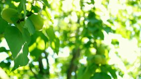 Defocus and blur the green foliage of plums and sunlight. Blinking bokeh from the wind blows. Beautiful sunny day in the forest.  stock video