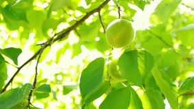 Defocus and blur the green foliage of plums and sunlight. Blinking bokeh from the wind blows. Beautiful sunny day in the forest.  stock video footage
