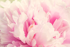 Defocus Closeup of peony flower Stock Images