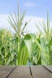 Defocus e imagen de falta de definición de la madera de la terraza y del campo de maíz dulce en s Fotografía de archivo
