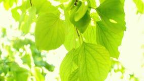 Defocus en vertroebelt het groene gebladerte van pruimen en zonlicht Het knipperen bokeh van de windslagen Mooie Zonnige dag in h stock videobeelden