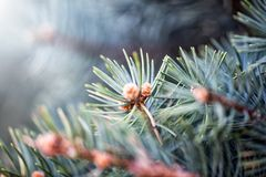 Defocus floral background Branch of spruce. Defocus abstract floral background Branch of spruce with young little spring cones Stock Photos