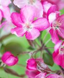 Defocus floral background spring cherry flowers. Macro view - Defocus floral background spring pink cherry flowers close up. Japan Sakura Stock Photos