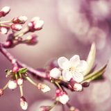 Defocus floral background spring cherry flowers Royalty Free Stock Images