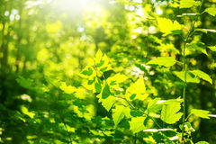 Defocus fresh spring green leaves. In sunny forest Stock Photography