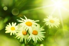 Flor de la margarita en prado verde Foto de archivo