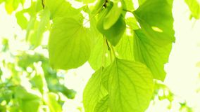 Defocus och att göra suddig den gröna lövverket av plommoner och solljus Blinkabokeh från vindslagen H?rlig solig dag i skogen lager videofilmer