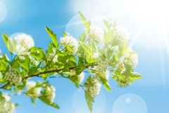 Beautiful  spring white flowers Stock Photography