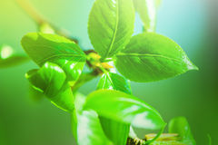 Defocus view for background. Fresh new green leaves glowing in sunlight Royalty Free Stock Images